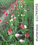 multicolored tulips in the... | Shutterstock . vector #1117992953