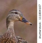 Mallard Duck Hen  Very Sharp ...