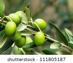 branch with olives on olive tree - stock photo