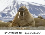 A walrus, closeup - stock photo