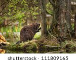 A beaver in the forest eating, closeup - stock photo
