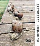 photo shoot. group of snails. | Shutterstock . vector #1118181863