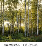 Birch-tree forest, Angermaland, Sweden - stock photo