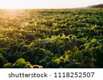 soy field at sunset   Shutterstock . vector #1118252507