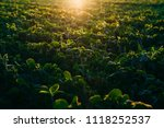 soy field at sunset   Shutterstock . vector #1118252537