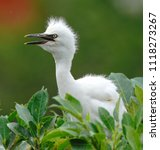 cattle egret  bubulcus ibis  is ... | Shutterstock . vector #1118273267