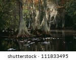 Bald cypress trees in swamp - stock photo