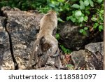 mating of monkeys in thailand. | Shutterstock . vector #1118581097