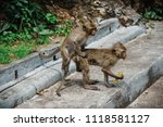 mating of monkeys in thailand. | Shutterstock . vector #1118581127