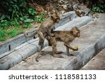 mating of monkeys in thailand. | Shutterstock . vector #1118581133