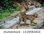 mating of monkeys in thailand. | Shutterstock . vector #1118581823