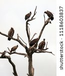 Small photo of Tree with vultures sitting on its every branch. Scavengers on white background