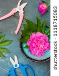 Small photo of Fresh magenta peony flowers with garden shears and pruner on blue background. Flat lay.