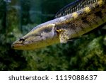 fish   blotched snakehead or... | Shutterstock . vector #1119088637