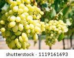 white grape vines on a sunny day | Shutterstock . vector #1119161693