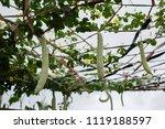 balsam pear growing in farmland | Shutterstock . vector #1119188597