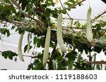 balsam pear growing in farmland | Shutterstock . vector #1119188603