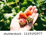 strawberries on a hand | Shutterstock . vector #1119192977