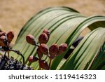 close up of female cones and... | Shutterstock . vector #1119414323