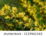 cytisus scoparius  the common... | Shutterstock . vector #1119661163