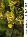cytisus scoparius  the common... | Shutterstock . vector #1119661187