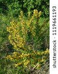 cytisus scoparius  the common... | Shutterstock . vector #1119661193