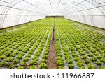 lettuces cultivation in a hothouse - stock photo