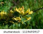 cytisus scoparius  the common... | Shutterstock . vector #1119693917