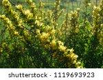 cytisus scoparius  the common... | Shutterstock . vector #1119693923
