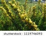 cytisus scoparius  the common... | Shutterstock . vector #1119746093
