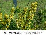 cytisus scoparius  the common... | Shutterstock . vector #1119746117