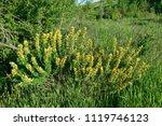 cytisus scoparius  the common... | Shutterstock . vector #1119746123
