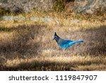 stellar blue jay  cyanocitta...