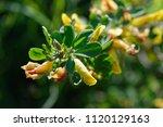 cytisus scoparius  the common... | Shutterstock . vector #1120129163