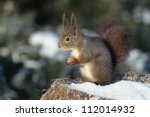 Squirrel sitting on stump and eating - stock photo