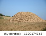 sugar beet  beta vulgaris  | Shutterstock . vector #1120174163