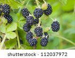 Blackberry fruit growing on branch - stock photo