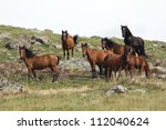 Savage Horses at Geres National park in North Portugal - stock photo