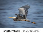 great blue heron  ardea... | Shutterstock . vector #1120420343
