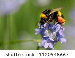 honey bee sitting on the violet ... | Shutterstock . vector #1120948667