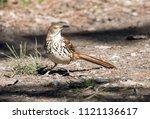 a boldly patterned bird brown... | Shutterstock . vector #1121136617