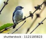 closeup of songbird plain... | Shutterstock . vector #1121185823