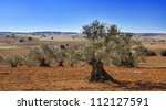 Panorama of cultivated fields of olive trees in Castilla la Mancha, Spain. Mediterranean landscape. - stock photo