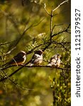 three zebra finches on a tree...   Shutterstock . vector #1121379527