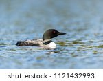 common loon swimming on lac... | Shutterstock . vector #1121432993
