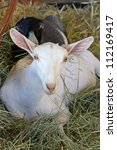 Small photo of White Saanen alpine dairy goat resting in a pile of hay