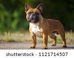 french bulldog outdoor | Shutterstock . vector #1121714507