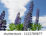 lupinus perennis in sunset... | Shutterstock . vector #1121785877