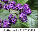 Small photo of lila flowers of heliotrope plant