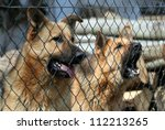 Barking German Shepherds behind the fence - stock photo